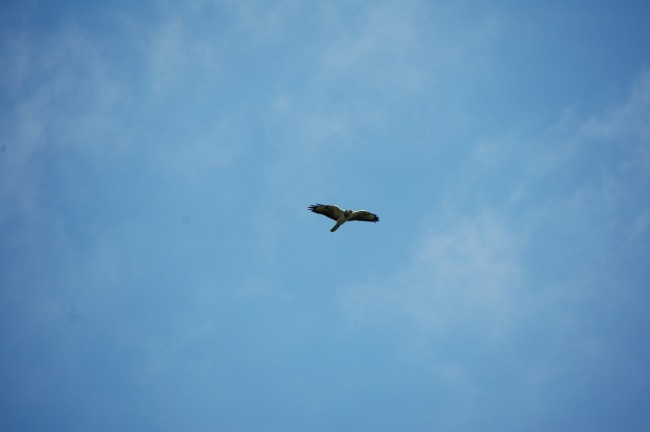Adler über Gribow