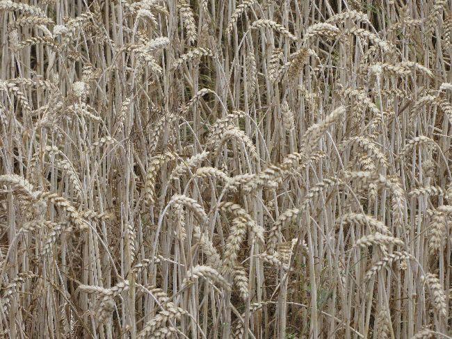 Bleiches Getreide