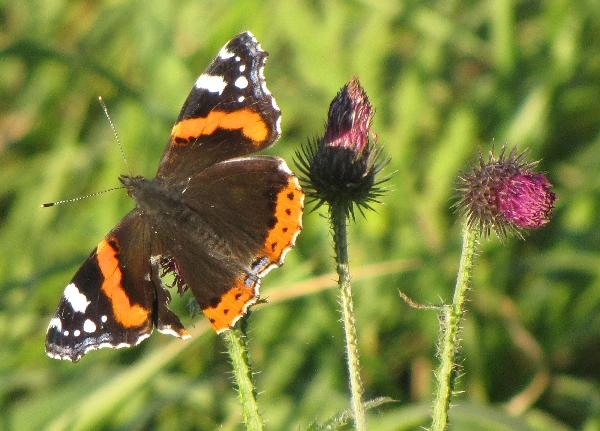 Schmetterling auf Peenewiese