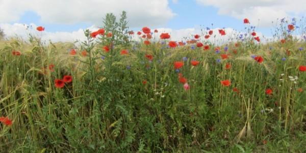 Am Feldrain die schönsten Blumen
