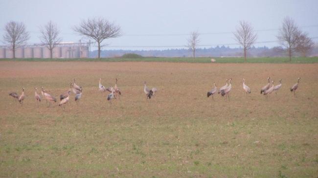 Kraniche auf dem Feld bei Dambeck