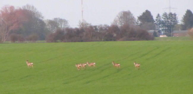 Rehe auf dem Feld bei Dambeck