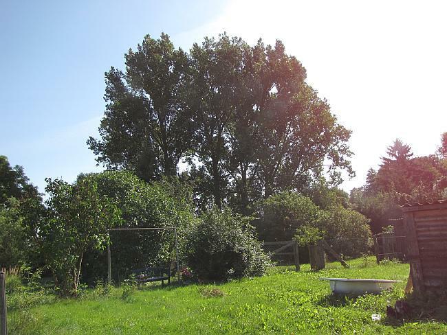 Schwarzpappel im Sommerlaub