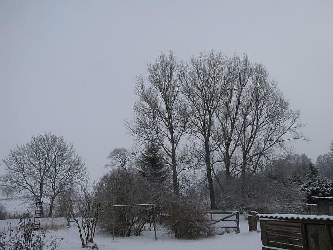 Schwarzpappel im Winter