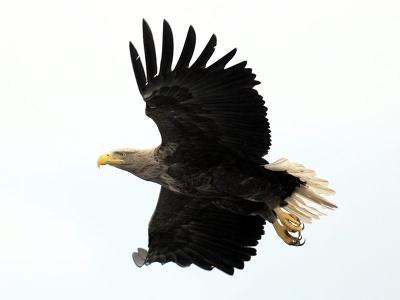 Seeadler, http://commons.wikimedia.org/wiki/File:Seeadler-flug.jpg