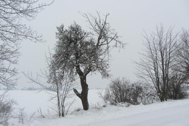 EIn Winterapfelbaum